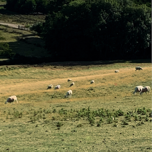 East Sussex Sheep